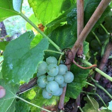 Vendanges dans le vignoble