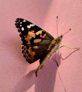 Élevage de papillons
